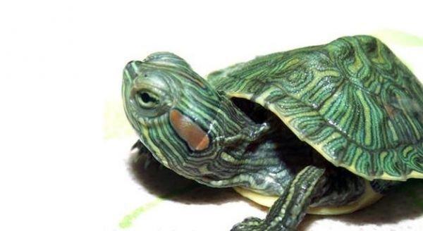 巴西龟一天喂几次